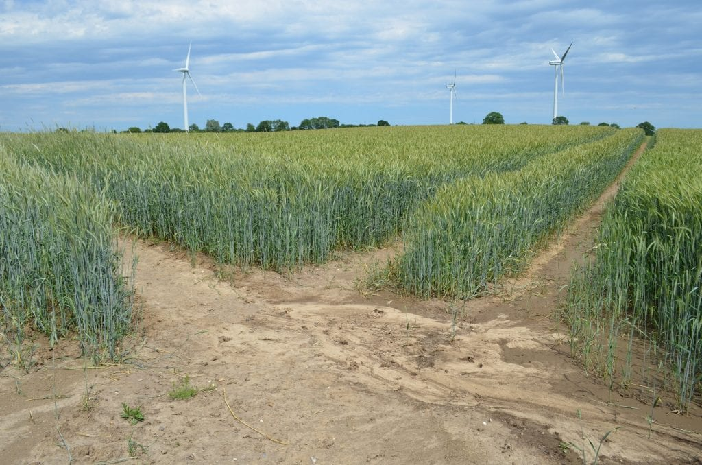 In contrast to organic farming, a conventional wheat field. The wheat is green and abundant, but no other colours are visible, there are no flowers to be seen, and the ground between the wheat rows appears to be dry and barren.