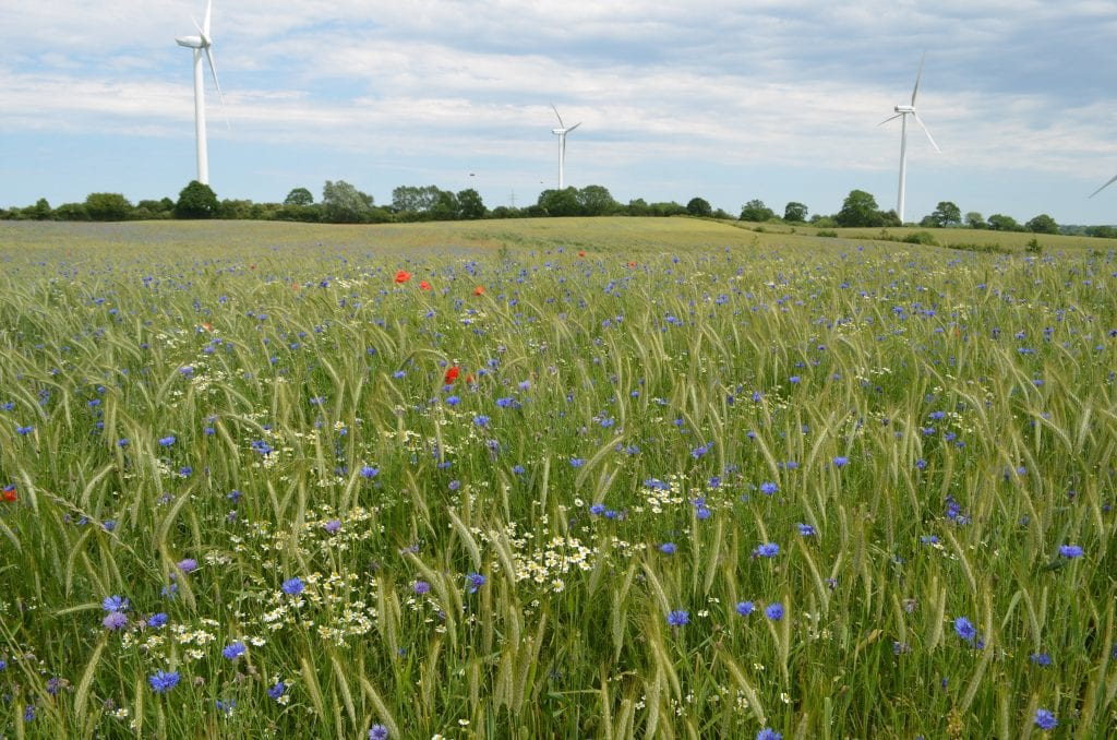 A lush green organic wheat field, dotted with yellow, blue, and red flowers.