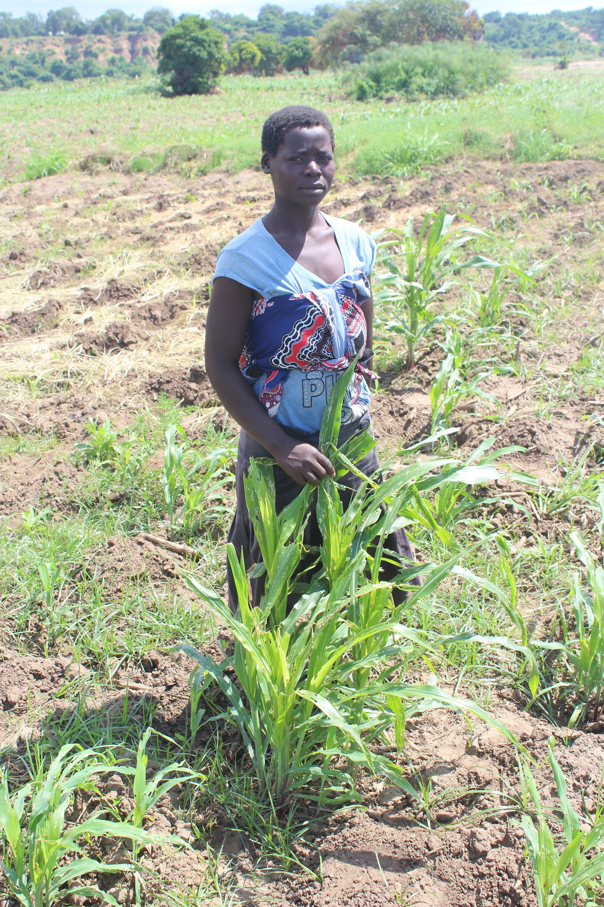 Female farmer standing forlornly by armyworm-affected maize plants.