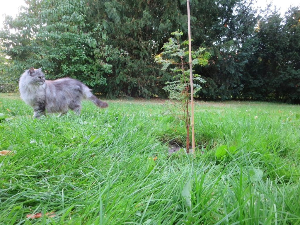A cat walks past a dawn redwood sapling, a fast-growing tree that does little towards carbon neutrality.